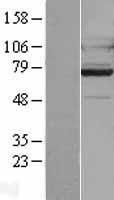 NBL1-11250 - GPCR GPR128 Lysate