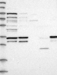 NBP1-87003 - GPR27 / SREB1