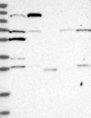 NBP1-89737 - LGR4 / GPR48