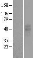 NBL1-14041 - GPCR GPR86 Lysate