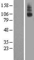 NBL1-15638 - GPCR LGR8 Lysate