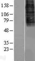 NBL1-09635 - CXCR7 Lysate