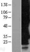 NBL1-13225 - GPCR RTA Lysate