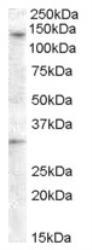 NBP1-03561 - GPR125