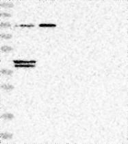 NBP1-81548 - GPD1L