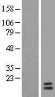 NBL1-11228 - GPHA2 Lysate