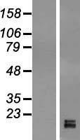 NBL1-11231 - GPIHBP1 Lysate