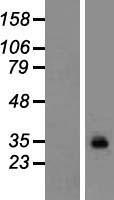 NBL1-11233 - GPM6A Lysate