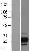 NBL1-11237 - GPN2 Lysate
