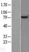 NBL1-11239 - GPNMB Lysate