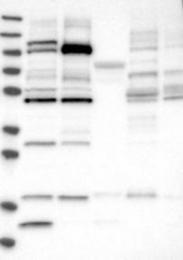 NBP1-87286 - GPR142 / PGR2