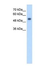 NBP1-69244 - GPR161