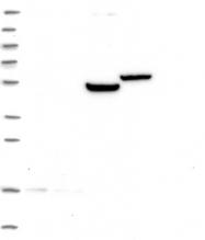 NBP1-81819 - GPR176
