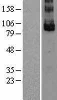 NBL1-12509 - GPR49 Lysate