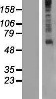 NBL1-11287 - GPR61 Lysate
