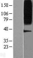 NBL1-11291 - GPR75 Lysate