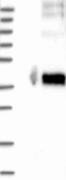 NBP1-86777 - GPR77 / C5L2