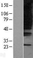 NBL1-14021 - GPR80 Lysate