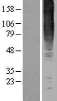 NBL1-11296 - GPR83 Lysate