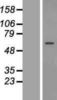 NBL1-11300 - GPR89 Lysate