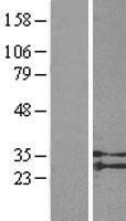 NBL1-16595 - GPR91 Lysate