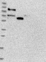 NBP1-91968 - GPSM1 / AGS3