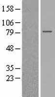 NBL1-11310 - GPSM2 Lysate