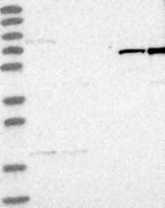 NBP1-89732 - ARHGAP26 / OPHN1L