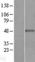 NBL1-11322 - GRAMD3 Lysate