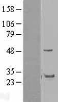 NBL1-11323 - GRAP Lysate