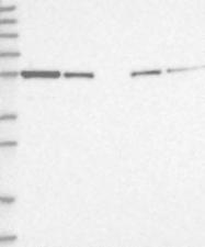 NBP1-89747 - GORASP2 / GOLPH6