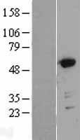 NBL1-11203 - GRASP55 Lysate