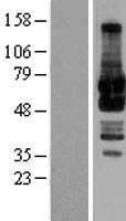 NBL1-11202 - GRASP65 Lysate