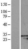 NBL1-11326 - GRB2 Lysate