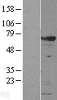 NBL1-11327 - GRB7 Lysate