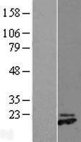 NBL1-11330 - GREM2 Lysate