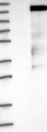 NBP1-88266 - RAPGEF1 / GRF2