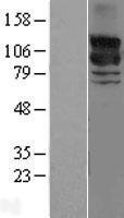 NBL1-15151 - GRF2 Lysate