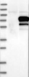 NBP1-81322 - GRHL1 / LBP32