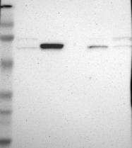 NBP1-81321 - GRHL1 / LBP32