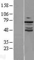 NBL1-11332 - GRHL2 Lysate