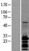 NBL1-13538 - GRIM19 Lysate