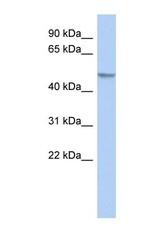 NBP1-56359 - POLR2M / GRINL1A
