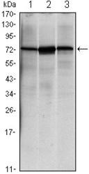 NBP1-47479 - HSPA5 / GRP78