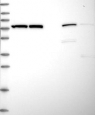 NBP1-89968 - HSPA5 / GRP78