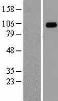 NBL1-11746 - GRP94 Lysate