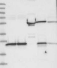 NBP1-83557 - GRPEL1