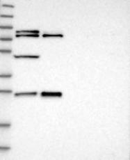NBP1-85099 - GRPEL2