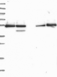 NBP1-89488 - GRSF1