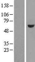 NBL1-11356 - GRWD1 Lysate